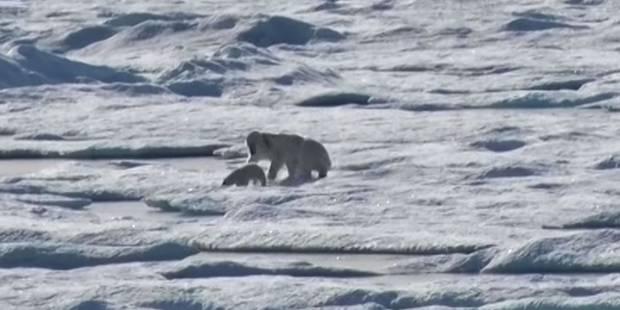 Un ours polaire dévore un ourson: les images rares de National Geographic (VIDEO) - La DH