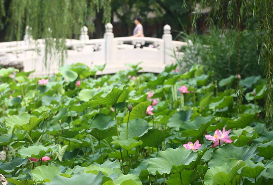 Les fleurs de lotus et la Chine, c'est une grande histoire et les nombreux parcs de Tianjin font la part belle à cette fleur aquatique.