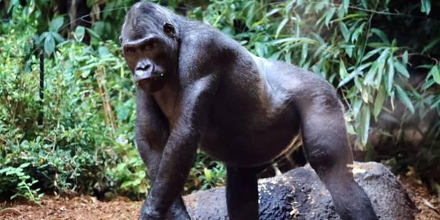 """La soigneuse des gorilles de Pairi Daiza se confie: """"Ce sont des espèces vraiment dangereuses"""" - La DH"""