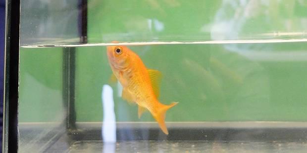 Anderlecht: Un poisson adopté par le service propreté - La DH