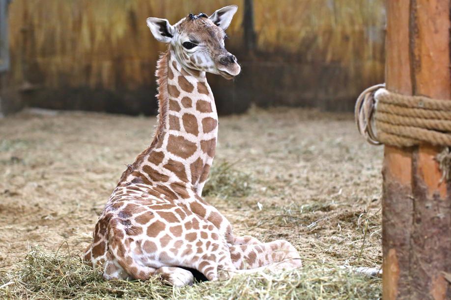 Pairi daiza naissance de deux lionceaux et d 39 une girafe for Prix d une girafe a poncer