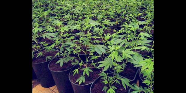 Une saisie  de plants de cannabis - La DH