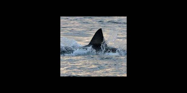Requin blanc en mer du Nord? - La DH