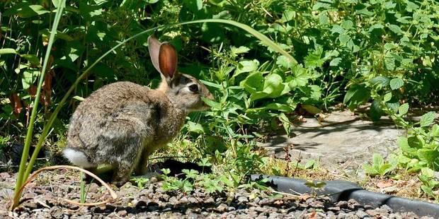 Invasion de lapins dans les parcs - La DH