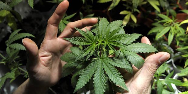 Plus de neuf kilos de marijuana saisis dans une plantation clandestine � Bruxelles