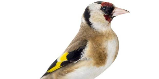 Un trafic d 39 oiseaux de tenderie for Oiseaux des jardins belgique