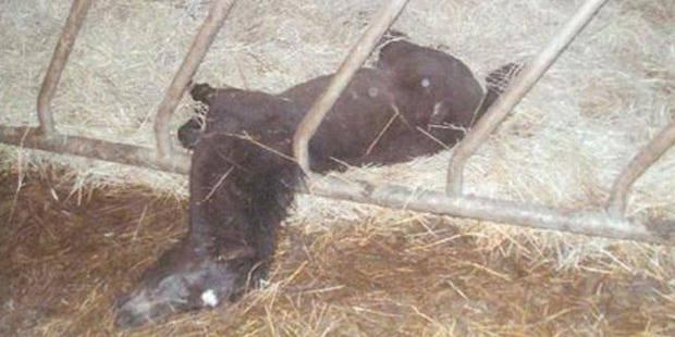 Une quinzaine de poneys retrouvés morts - La DH