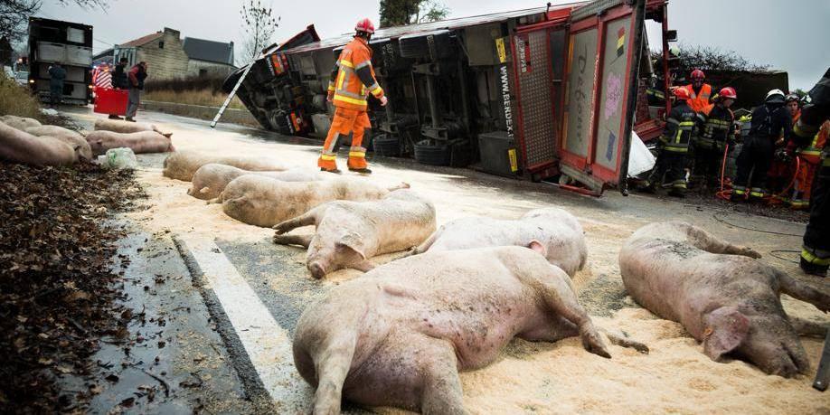 Un camion transportant des cochons accidenté dans la région de Liège