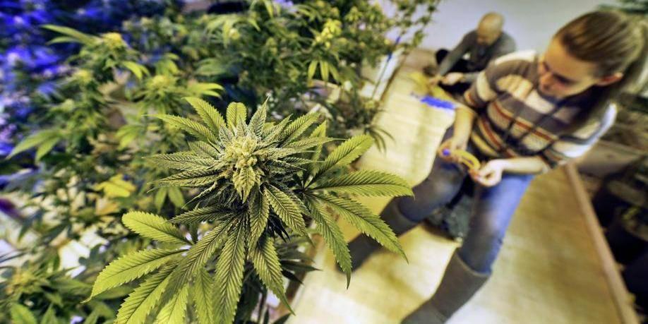 Le bourgmestre de Namur défavorable à l'ouverture d'un club de producteurs de cannabis