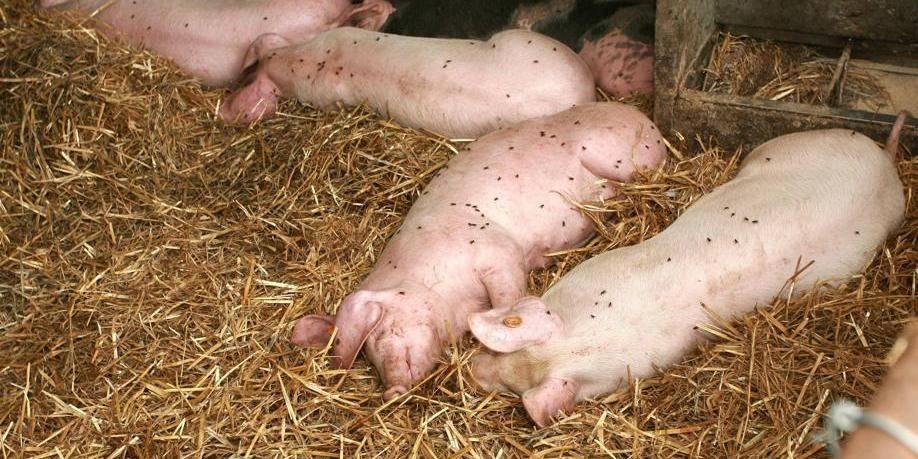 L'armée britannique tire sur des porcs vivants pour former des médecins