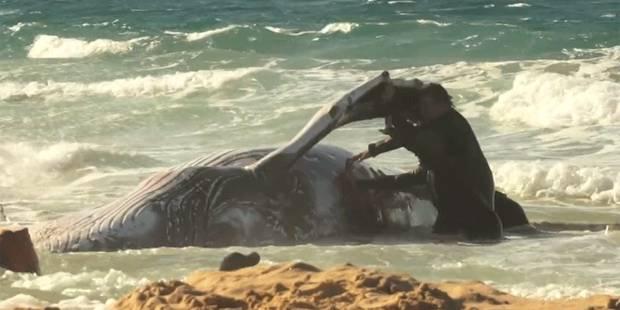 Un baleineau échoué remorqué vers le large - La DH