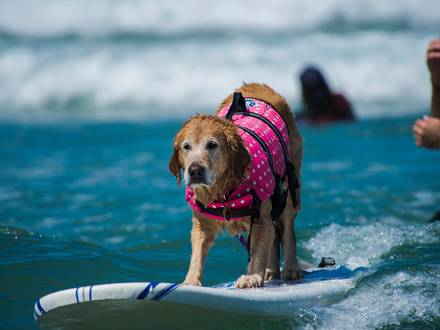 In the run-up to the annual Surf Dog Surf-A-Thon in Del Mar, California on Sunday September 8 2013, the Helen Woodward Animal Center offered surfing lessons for pups and their owners. It's the largest event of its kind in the world and where all the best sur-furs show of their talents. Reporters / Incredible Features