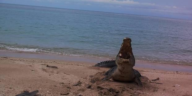 Le crocodile de Cuba, infidèle en rut, va disparaître à force de trop se reproduire - La DH