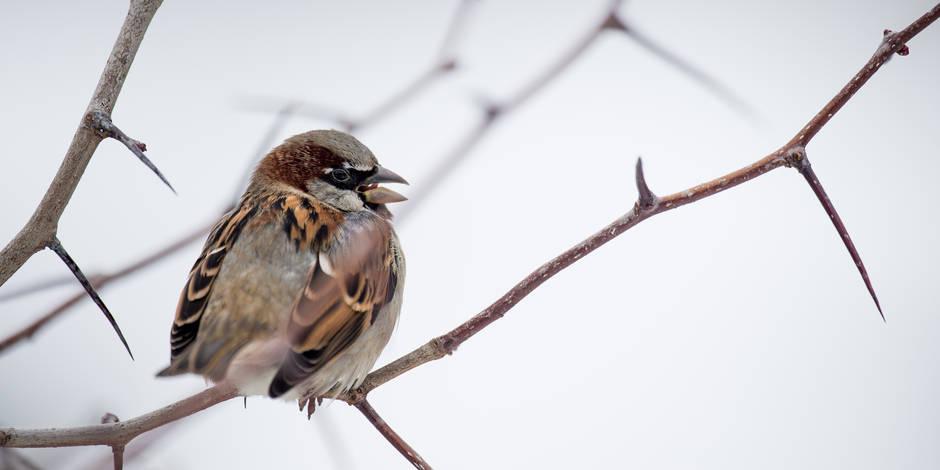 Recensement des oiseaux de jardin la fin des moineaux en for Oiseaux des jardins belgique