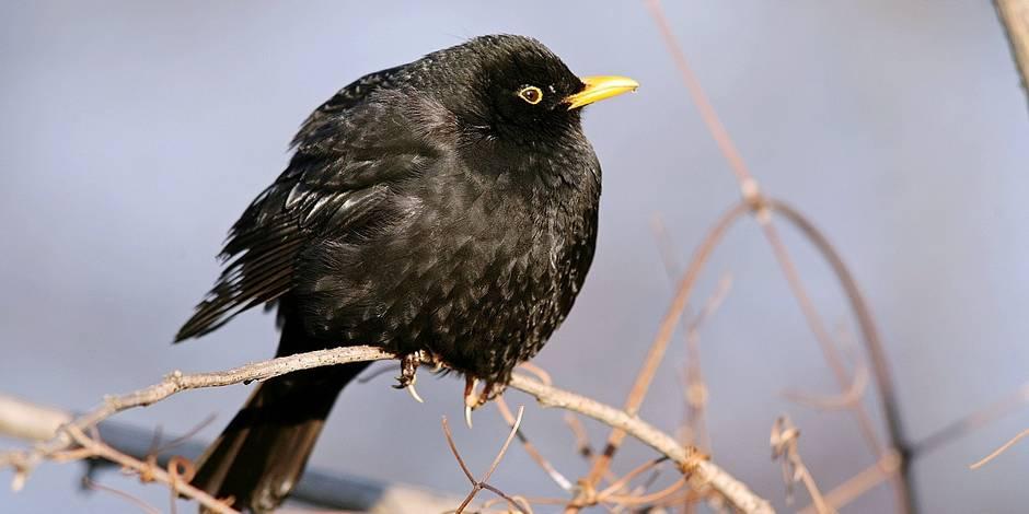 Bient t plus que 10 esp ces d oiseaux dans nos jardins for Oiseaux des jardins belgique