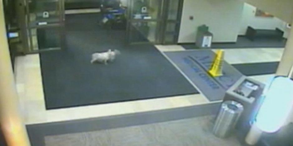 Incroyable: ce chien court 2 km, entre dans l'hôpital et rejoint sa maîtresse (Vidéo)