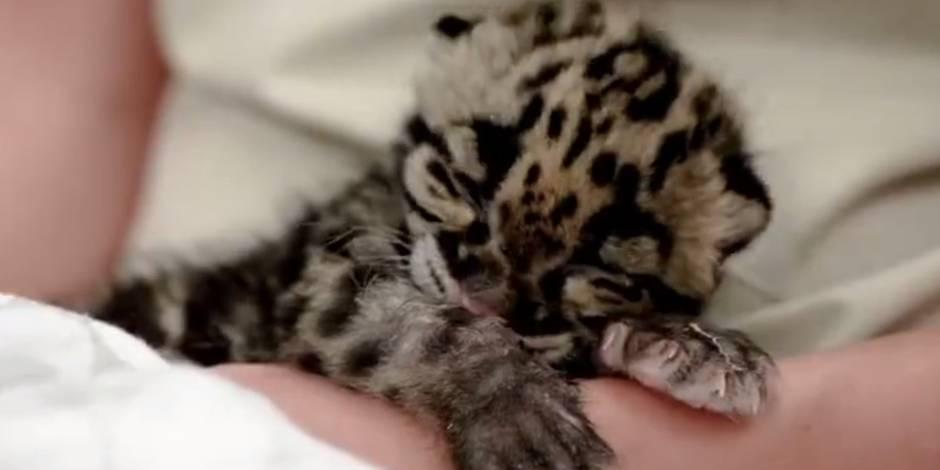 Un bébé léopard bien fatigué s'endort en direct