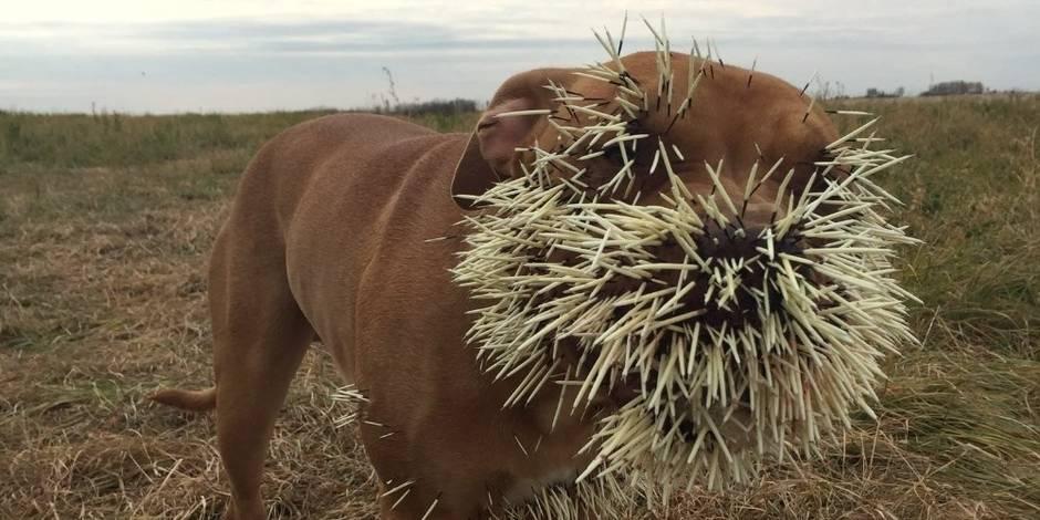Ces chiens font une rencontre dramatique avec un porc-épic