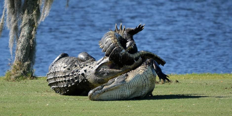 Une partie de golf interrompue par un duel entre deux alligators sur le fairway