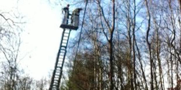 Waimes: des castors font tomber des arbres sur des câbles