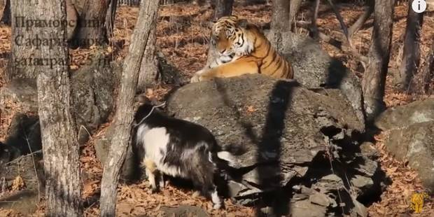Le bouc et le tigre d'un zoo russe ne sont plus amis - La DH