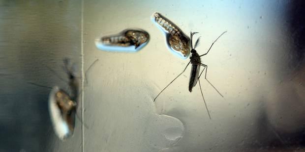 Zika: Le moustique transgénique, sauveur ou tueur? - La DH