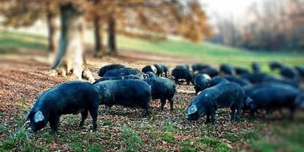 Grez-Doiceau: des poules et des porcs - La DH