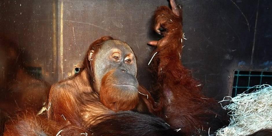 Le premier grand singe débarque à Pairi Daiza