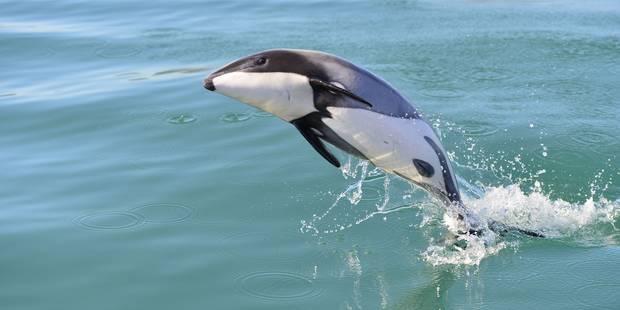 Il faut sauver le dauphin Maui - La DH