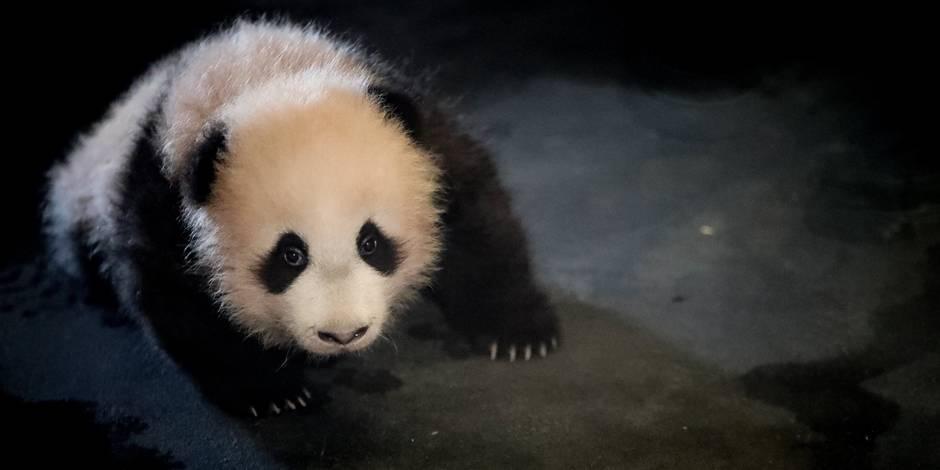 Le bébé panda de Pairi Daiza chute de son rocher (VIDEO)