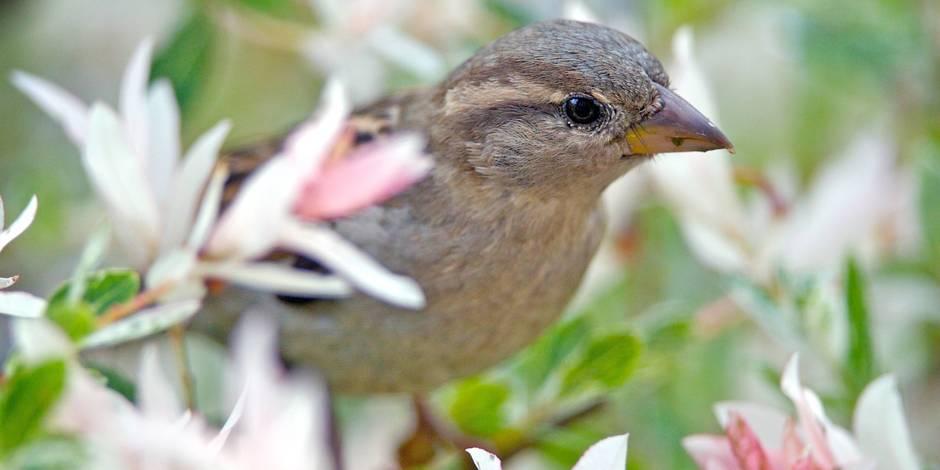 Les oiseaux d sertent nos jardins la dh for Oiseaux de nos jardins belgique