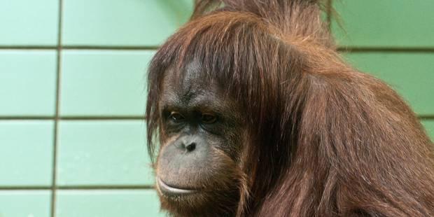 """Pays-Bas: un """"Tinder pour les orangs-outans"""" expérimenté dans un parc animalier - La DH"""