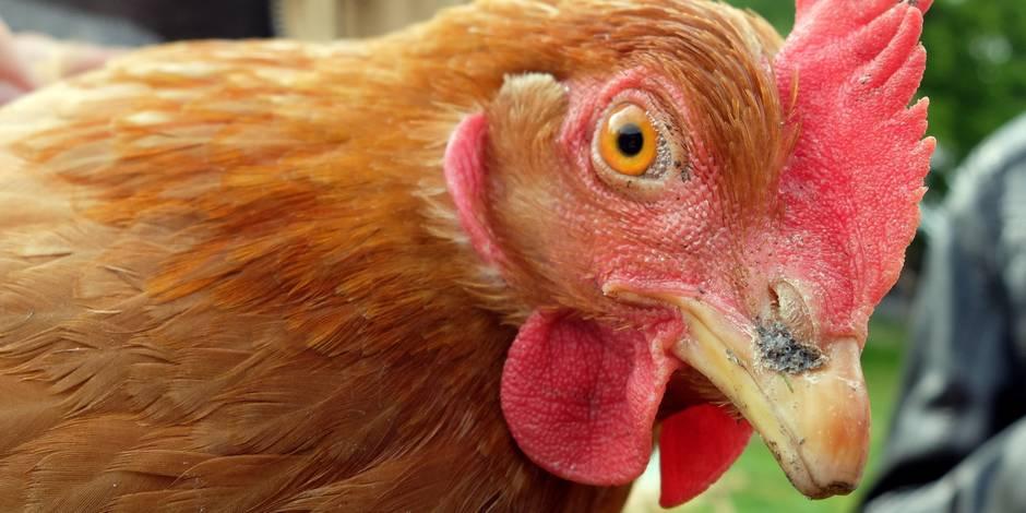 Horrible: surpris en plein acte sexuel avec une poule, il fait vomir sa femme