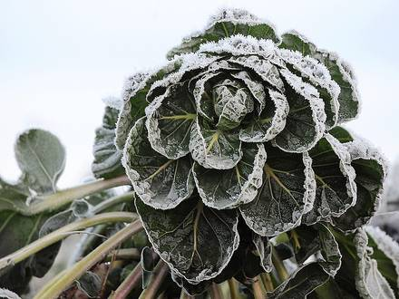 Frozen Brussel sprouts are being harvested early morning December 7, 2010 in a field in Godewaersvelde, northern France, as Europe experiences unusual ongoing cold weather. AFP PHOTO / PHILIPPE HUGUEN / AFP PHOTO / PHILIPPE HUGUEN