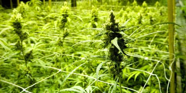 39 kilos de cannabis et 855 plants découverts à Dison - La DH