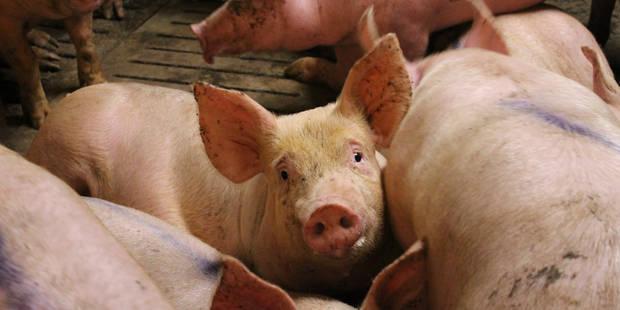 Va-t-on bientôt recevoir des organes de porcs ? - La DH