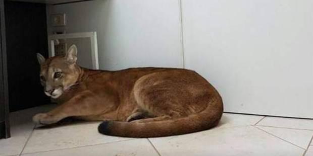 Un puma évacué d'un bureau en pleine ville au Brésil - La DH