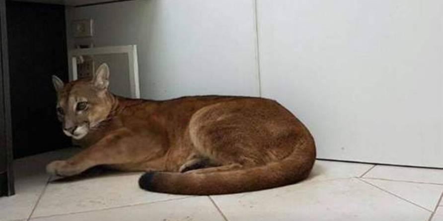 Un puma évacué d'un bureau en pleine ville au Brésil