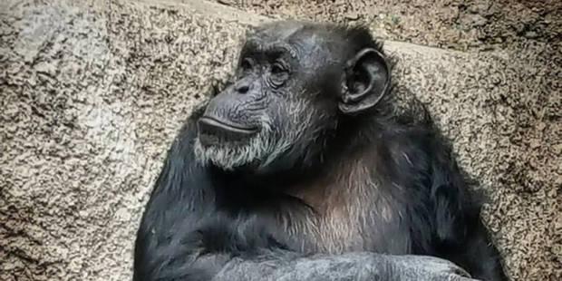 Les chimpanzés peuvent jouer à pierre-papier-ciseaux - La DH