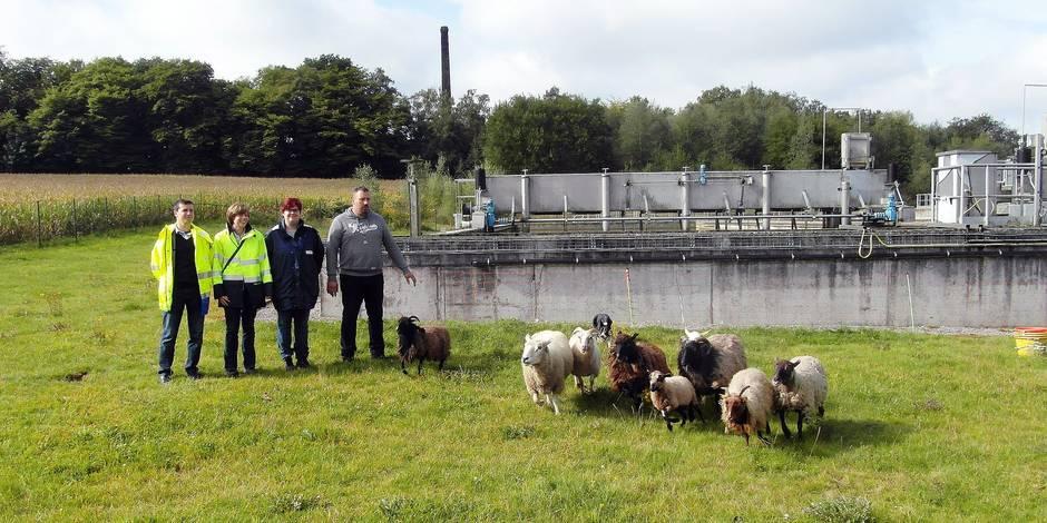 Des moutons dans les stations d'épuration du Hainaut