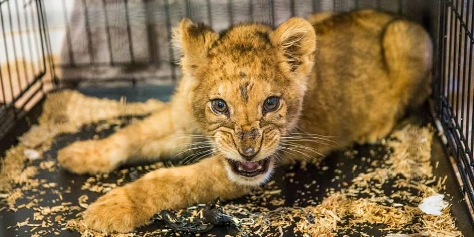 Un lionceau affaibli retrouvé dans un appartement à Paris