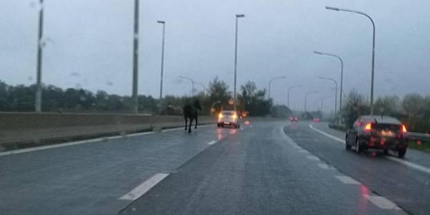 Un cheval sème la pagaille sur l'A8: un policier blessé (VIDÉO) - La DH