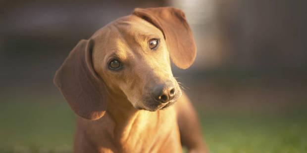 Noël, période à risque pour les chiens, empoisonnés par le chocolat - La DH