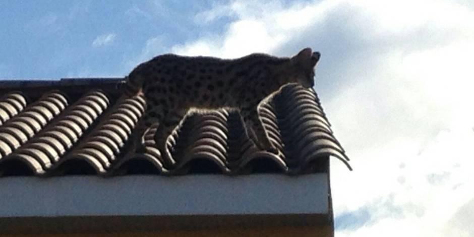 La police française a arrêté... un gros chat