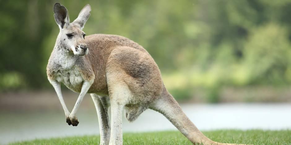 Un kangourou meurt sous les pierres des visiteurs d'un zoo